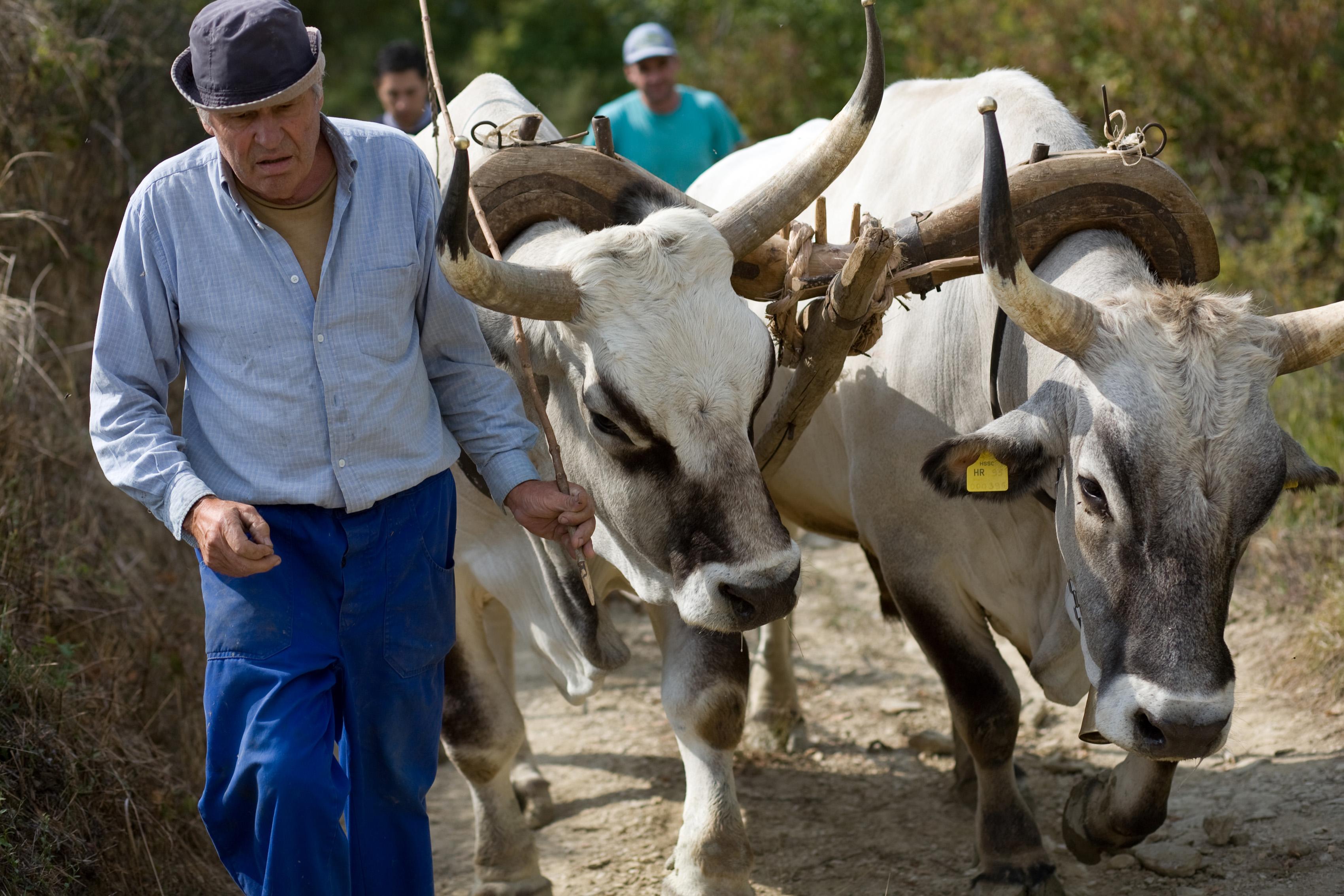 boskarin-istarsko-govedo-02