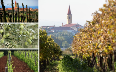 The beauties of Brtonigla –  the tradition of olive groves and viticulture